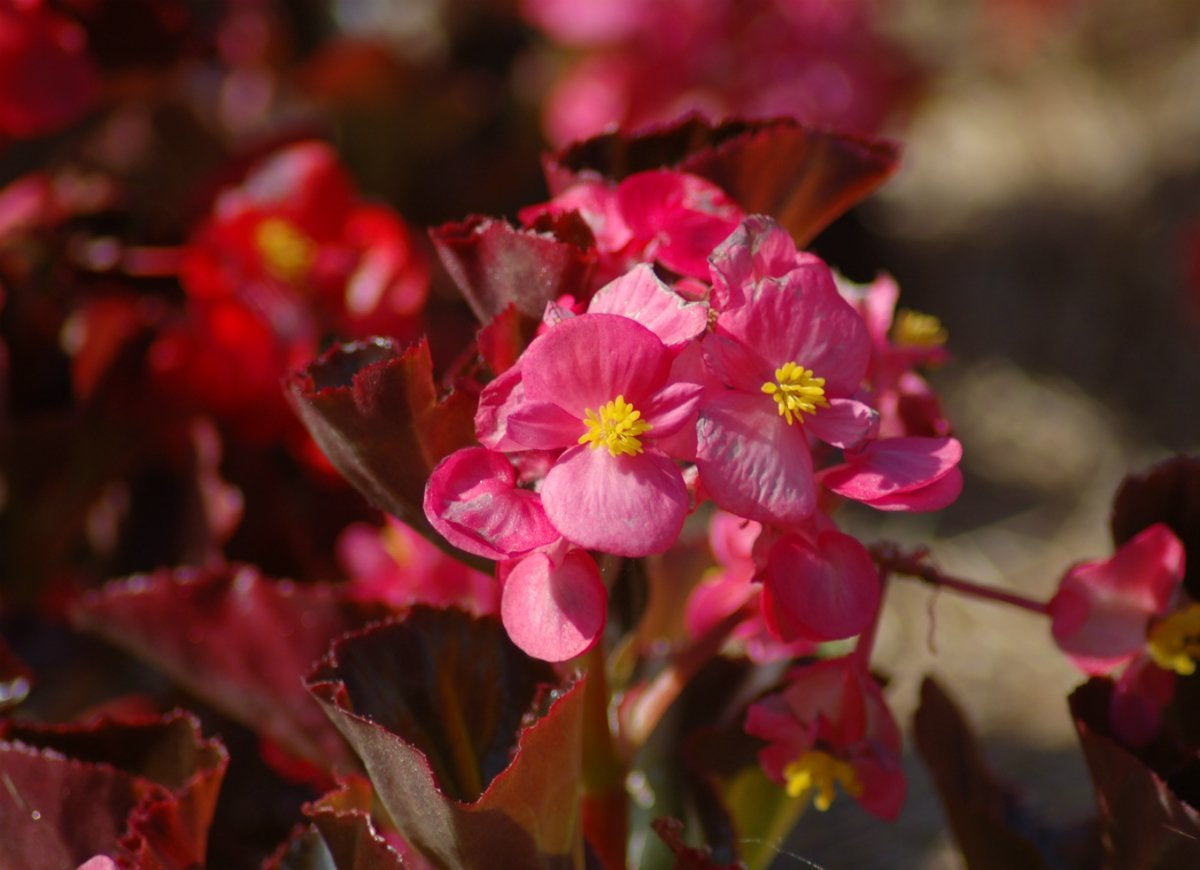 Easy care red leaf begonias