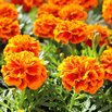 How to Grow Marigold