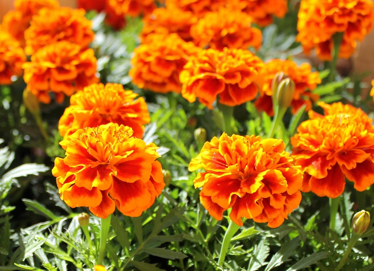 Foolproof flowers marigold