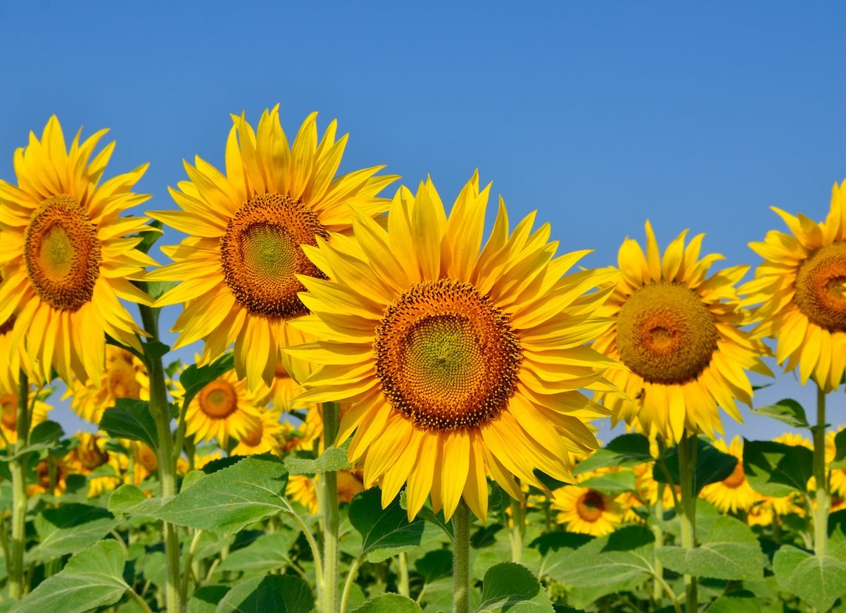 Foolproof flowers sunflower