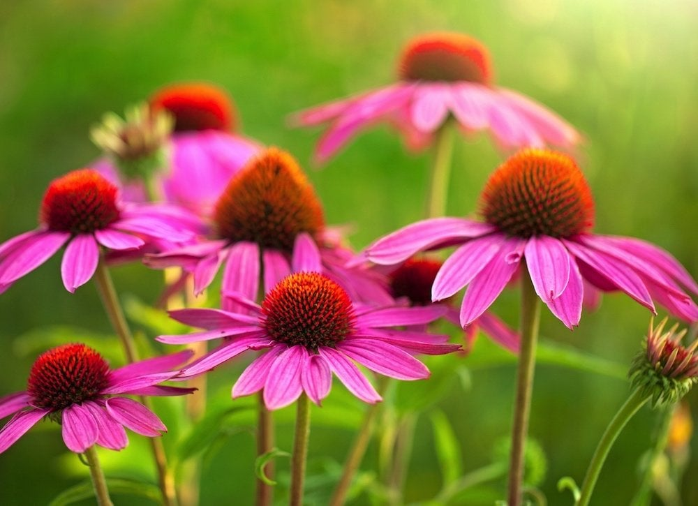 Echinacea growing garden