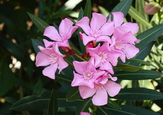 Oleander Poisonous