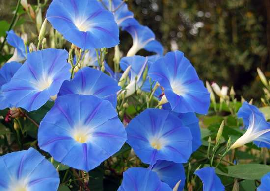 Morning Glory Poisonous
