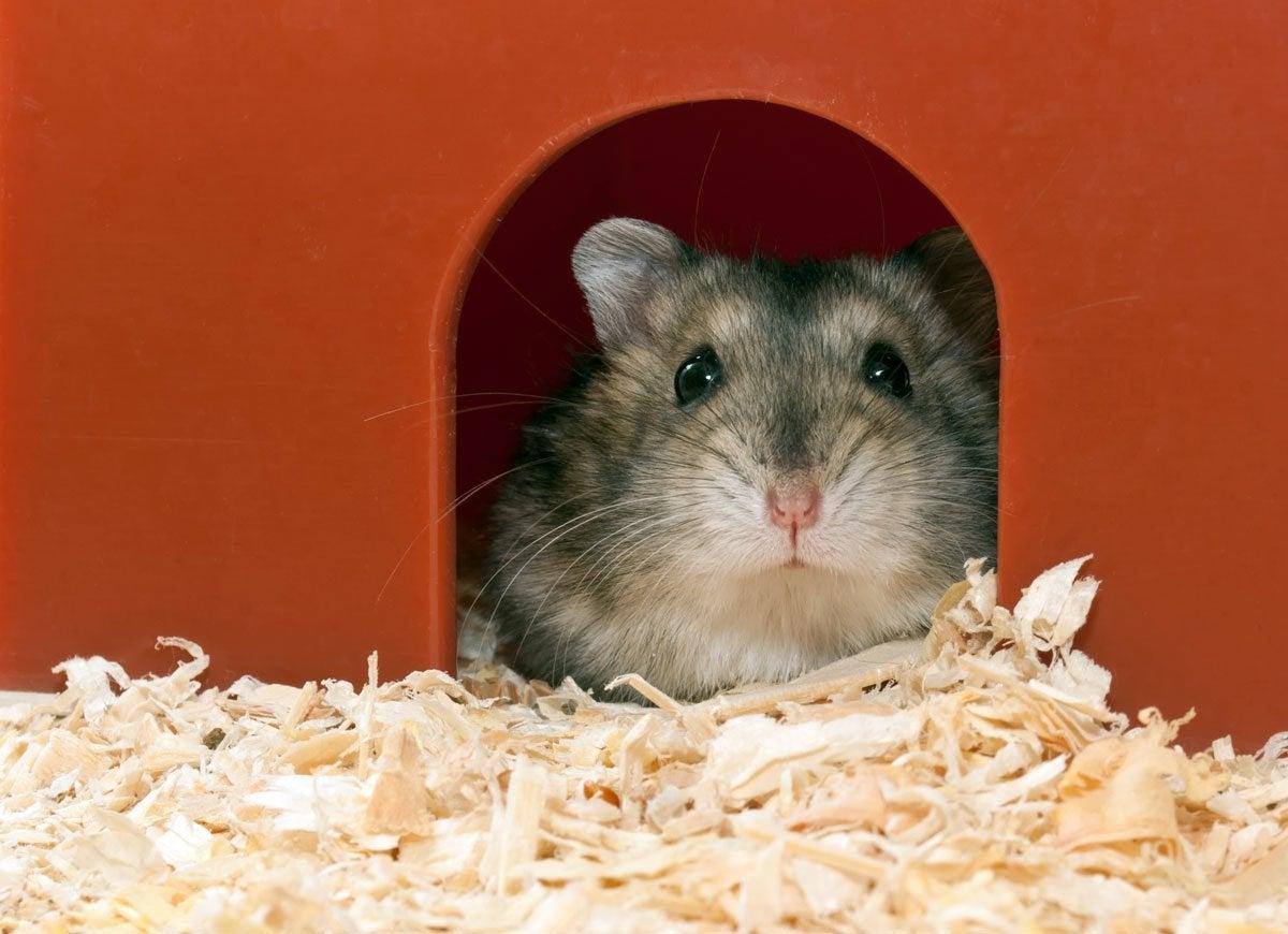 Sawdust hamster