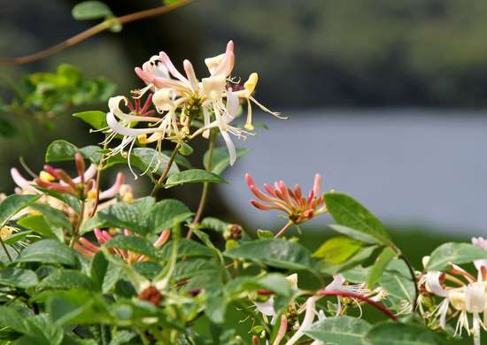 Honeysuckle Ground Cover