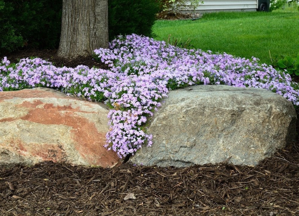 Best ground covers creeping phlox