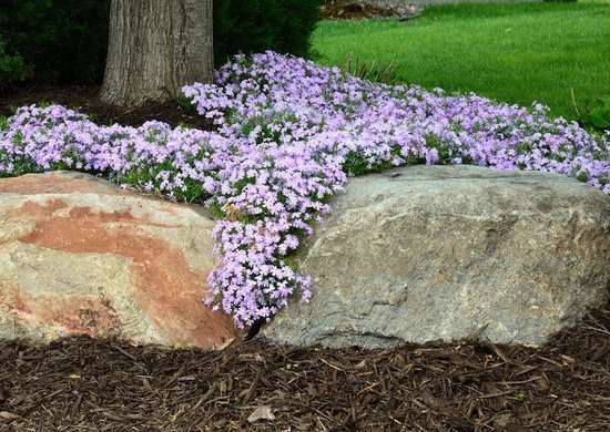 Creeping Phlox Ground Cover