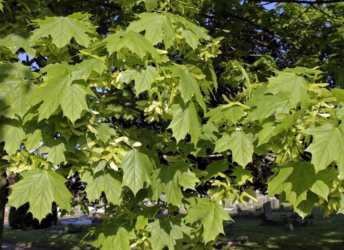Norway maple