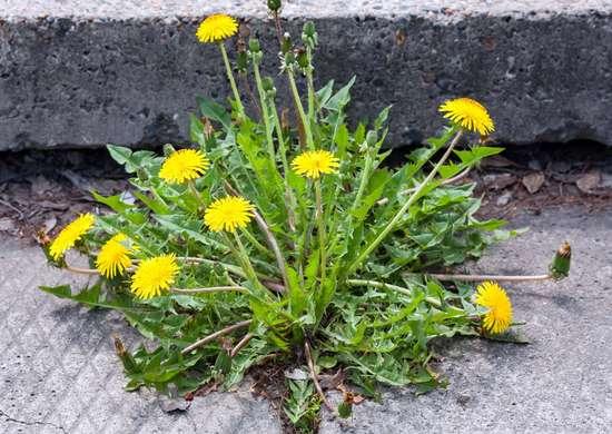 Weeds hack