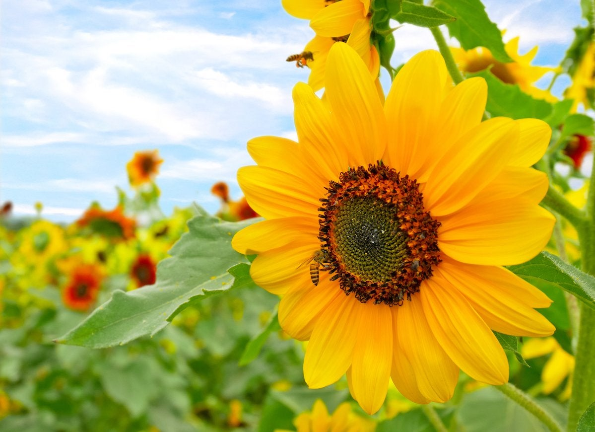Sunflowers for bees