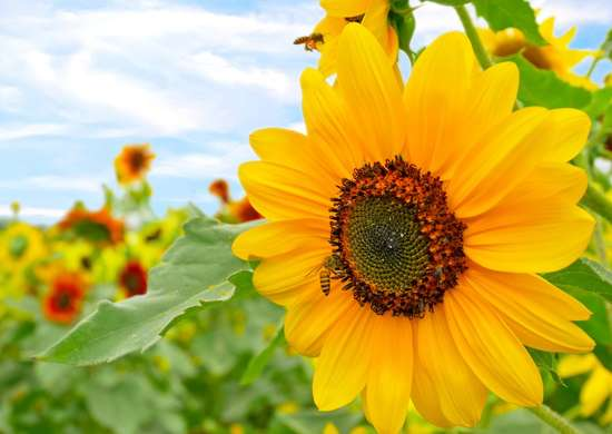Sunflowers Attract Bees