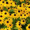 Black-Eyed Susan Attracts Bees