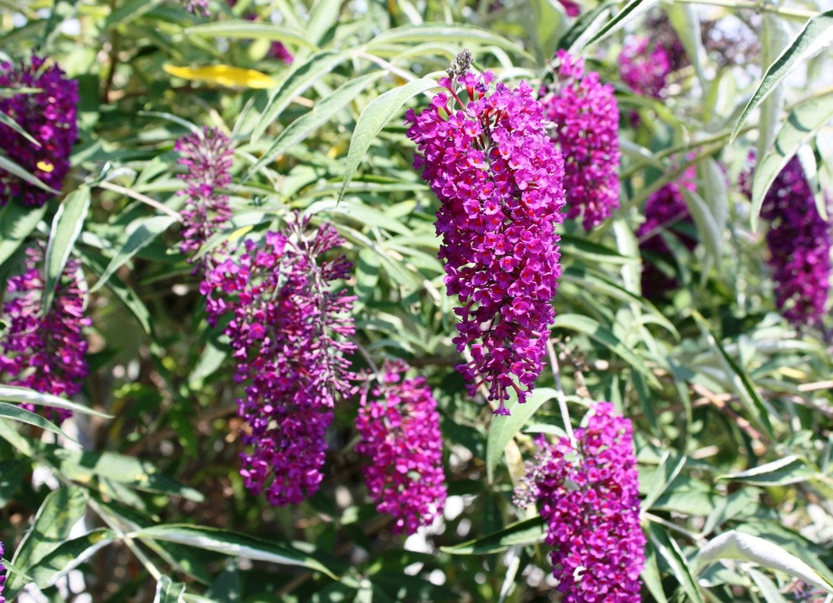 Butterfly bush bees