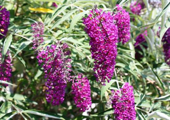 Butterfly Bush Attracts Bees