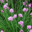 Chives Attract Bees