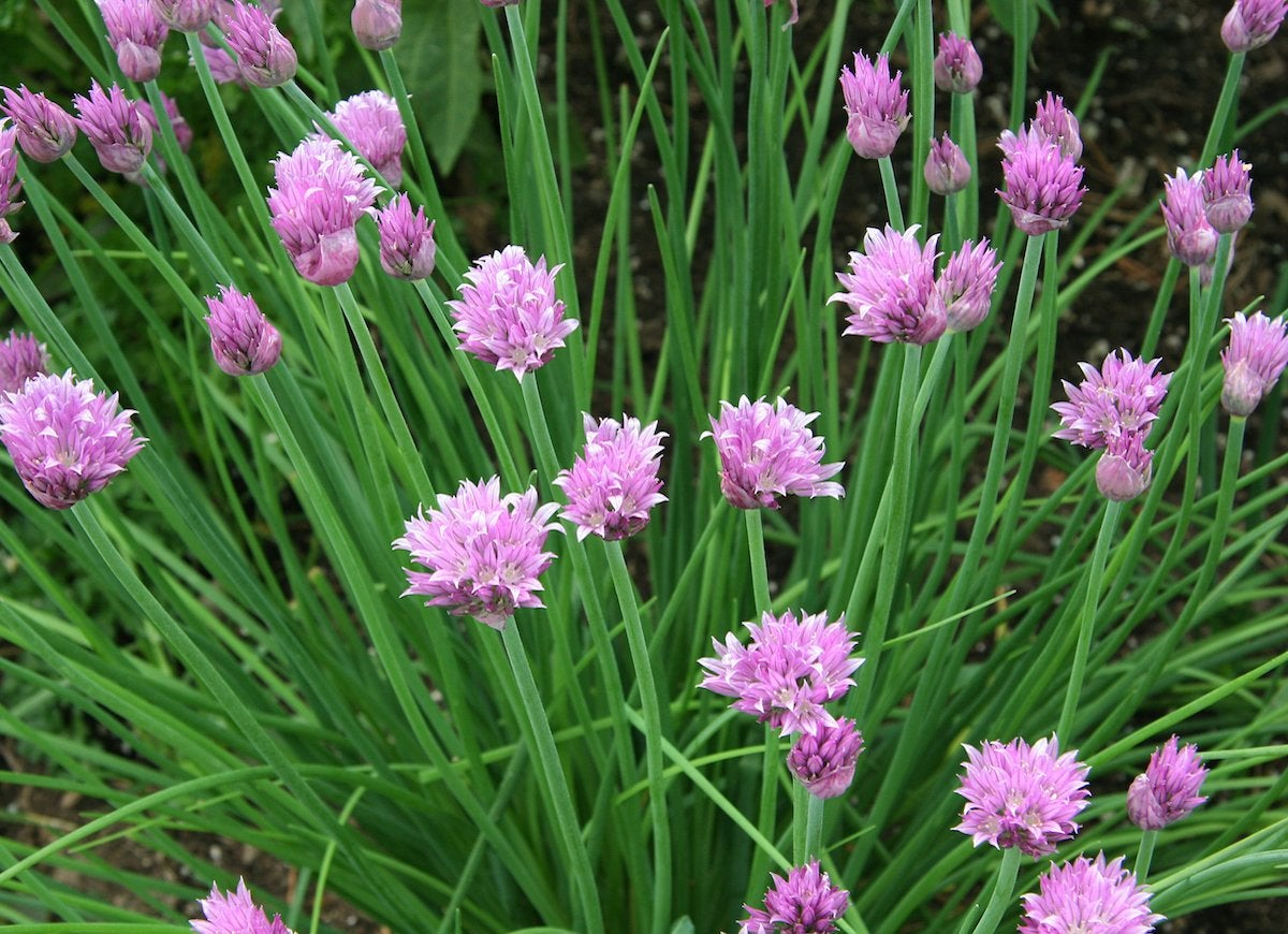 Chives bees
