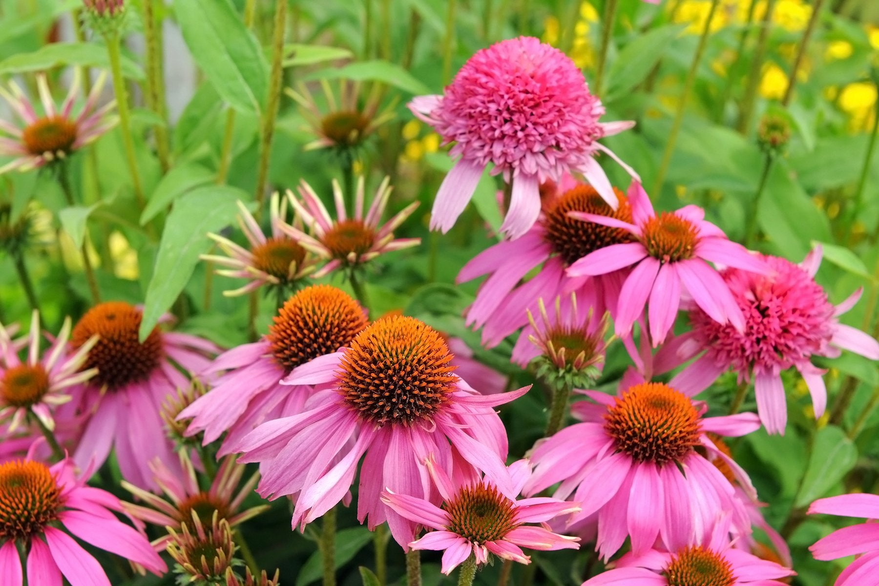 Coneflower bees