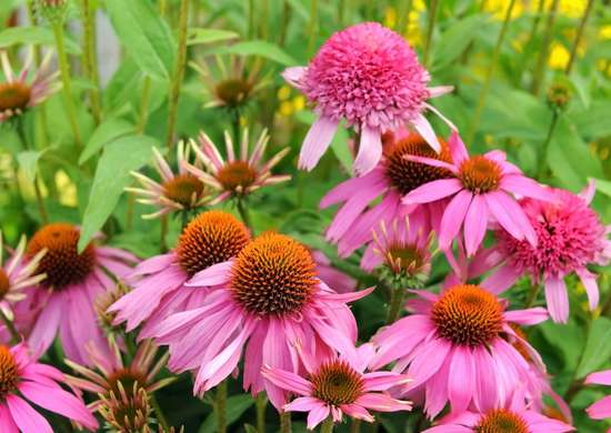Coneflower Attracts Bees