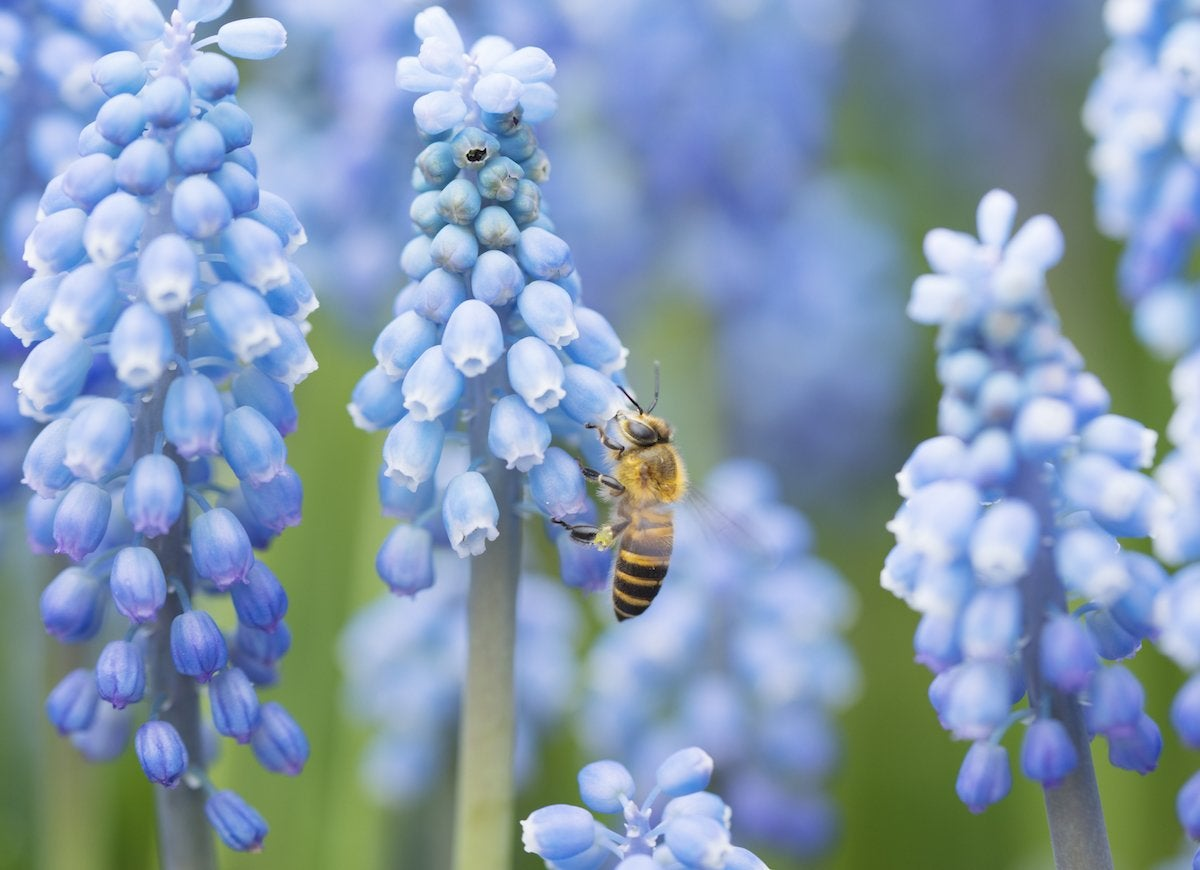 Grape hyacinth bees