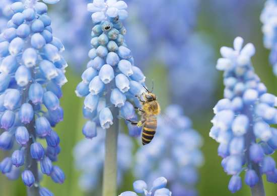Grape Hyacinth Attracts Bees