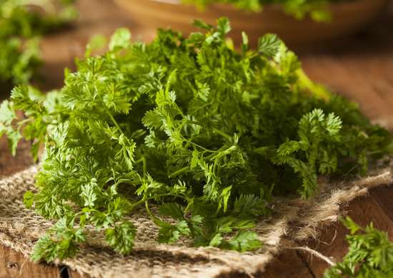 Growing Chervil Indoors