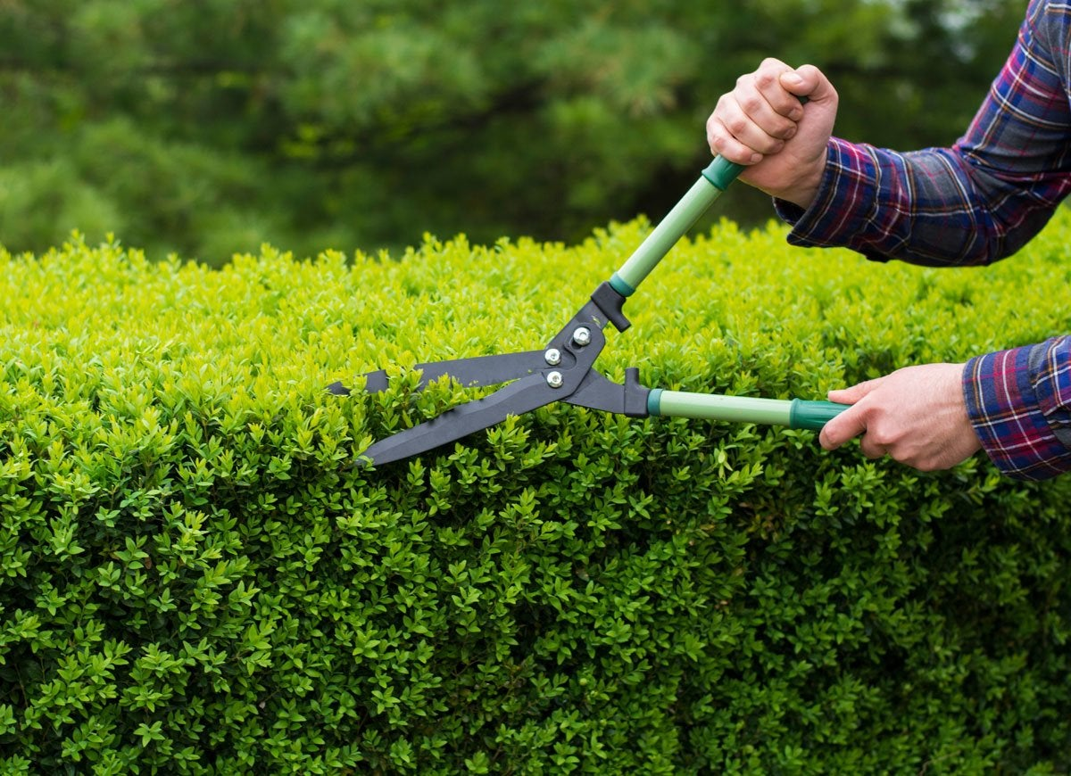 Trim shrubs