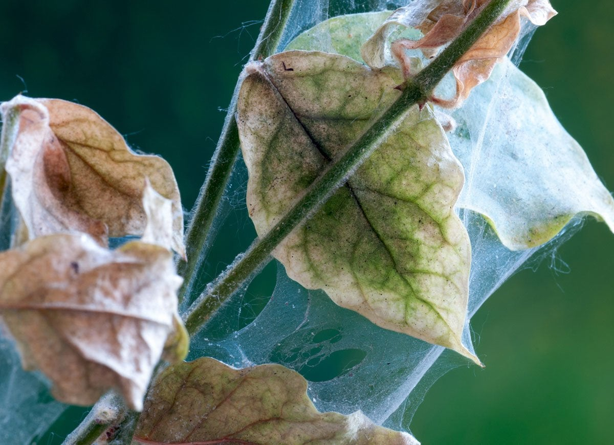 Houseplant spider mite