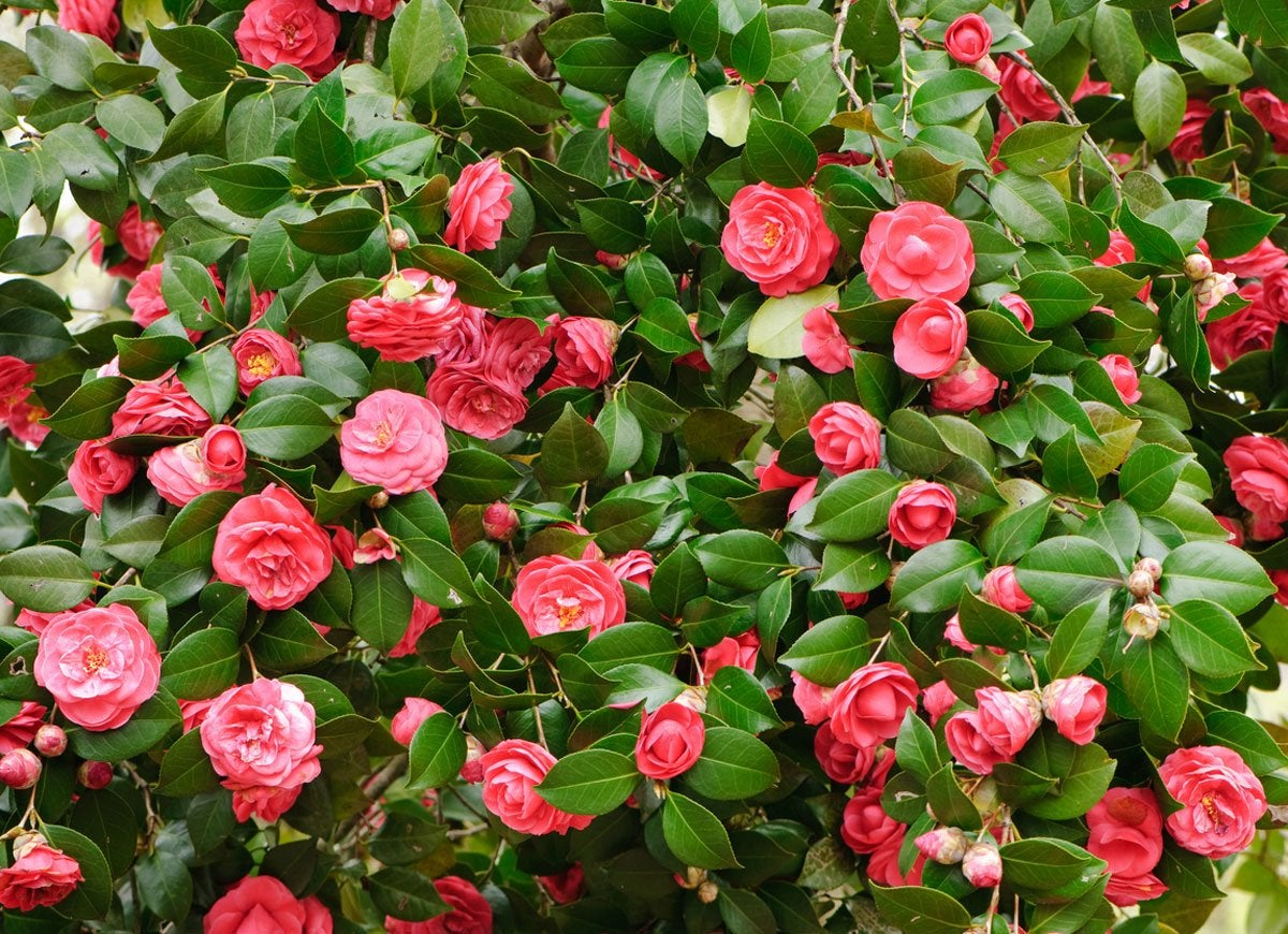 Winter shrubs 10 colorful picks for your landscape bob vila camellia has glossy green leaves and vibrant flowers that bloom throughout winter the shade loving plant comes in a host of colors including white coral mightylinksfo
