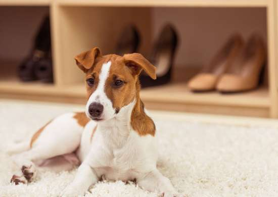 Remove Pet Hair from Carpet