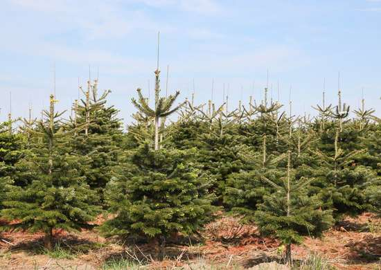 Where to Grow Christmas Trees