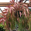 Red Coral Plant