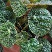 Crinkle-Leaf Begonia