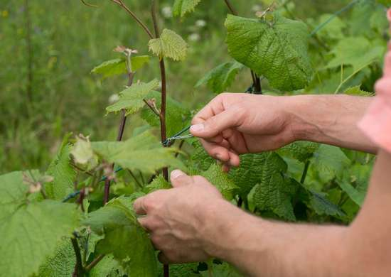 How to Tie Up Seedlings and Vines with Floss
