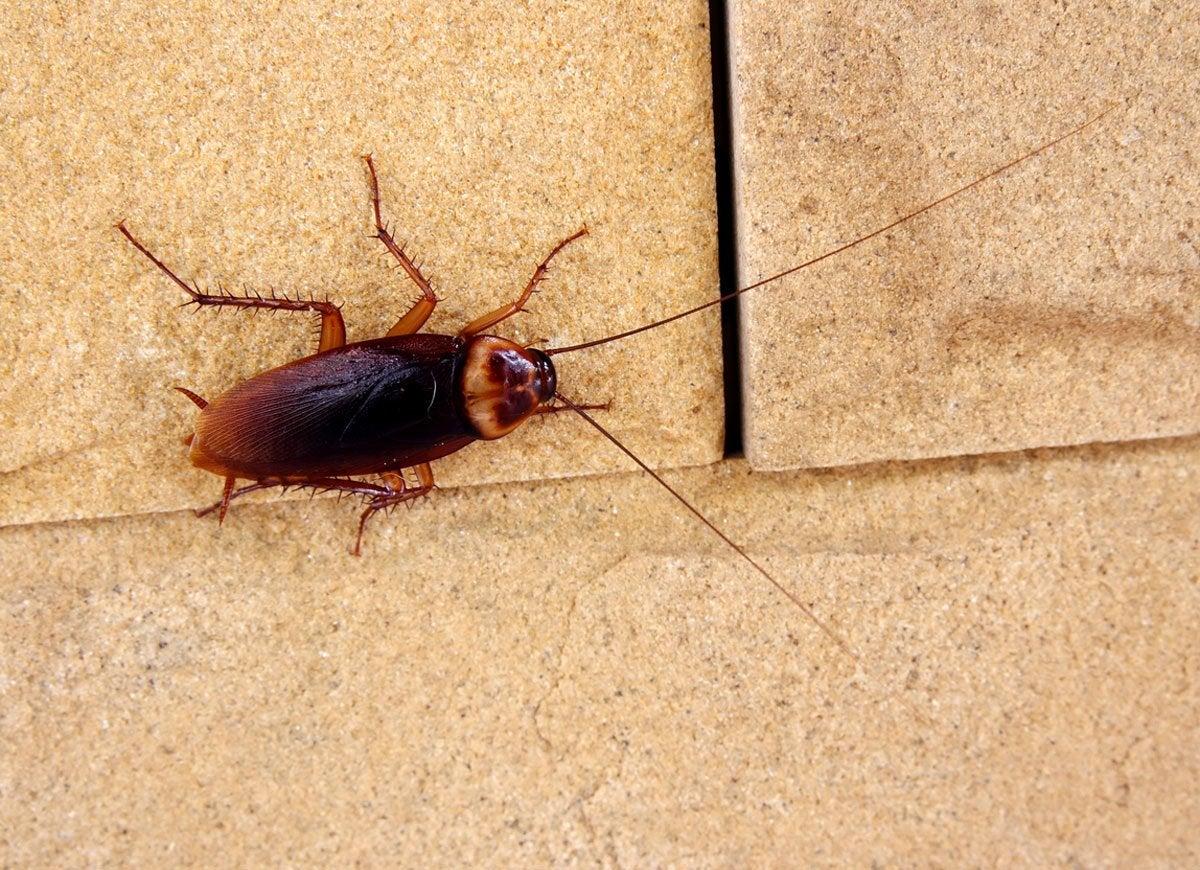 Sugar cockroach