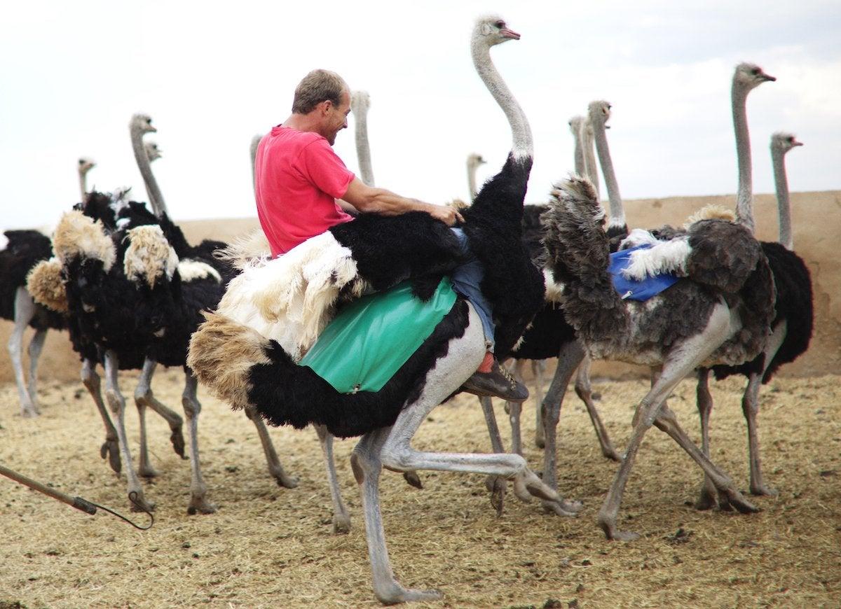 Riding ostrich