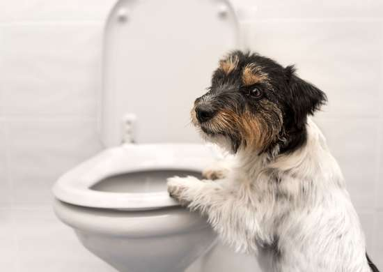 Can My Pet Drink Out of the Toilet?