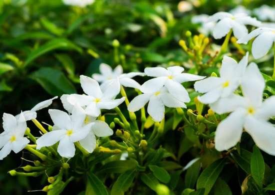 Jasmine Plant Bedroom