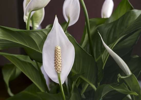 Peace Lily Bedroom