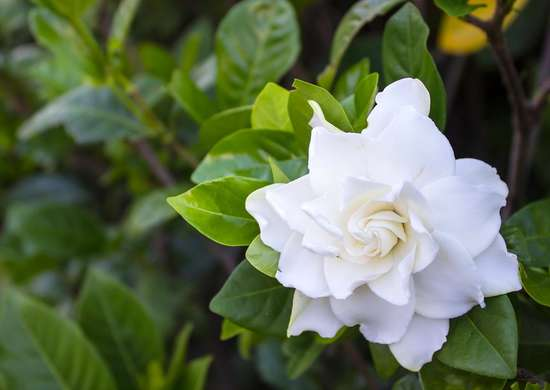 Gardenia Scent