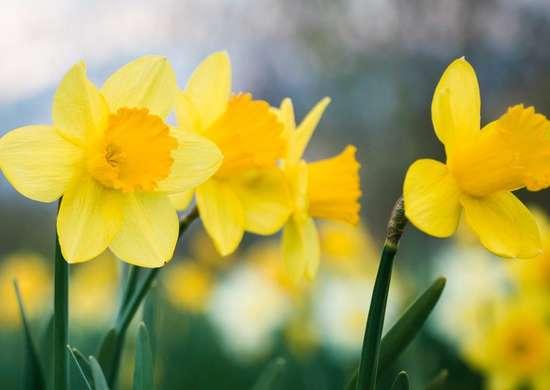 Baby Moon Daffodil