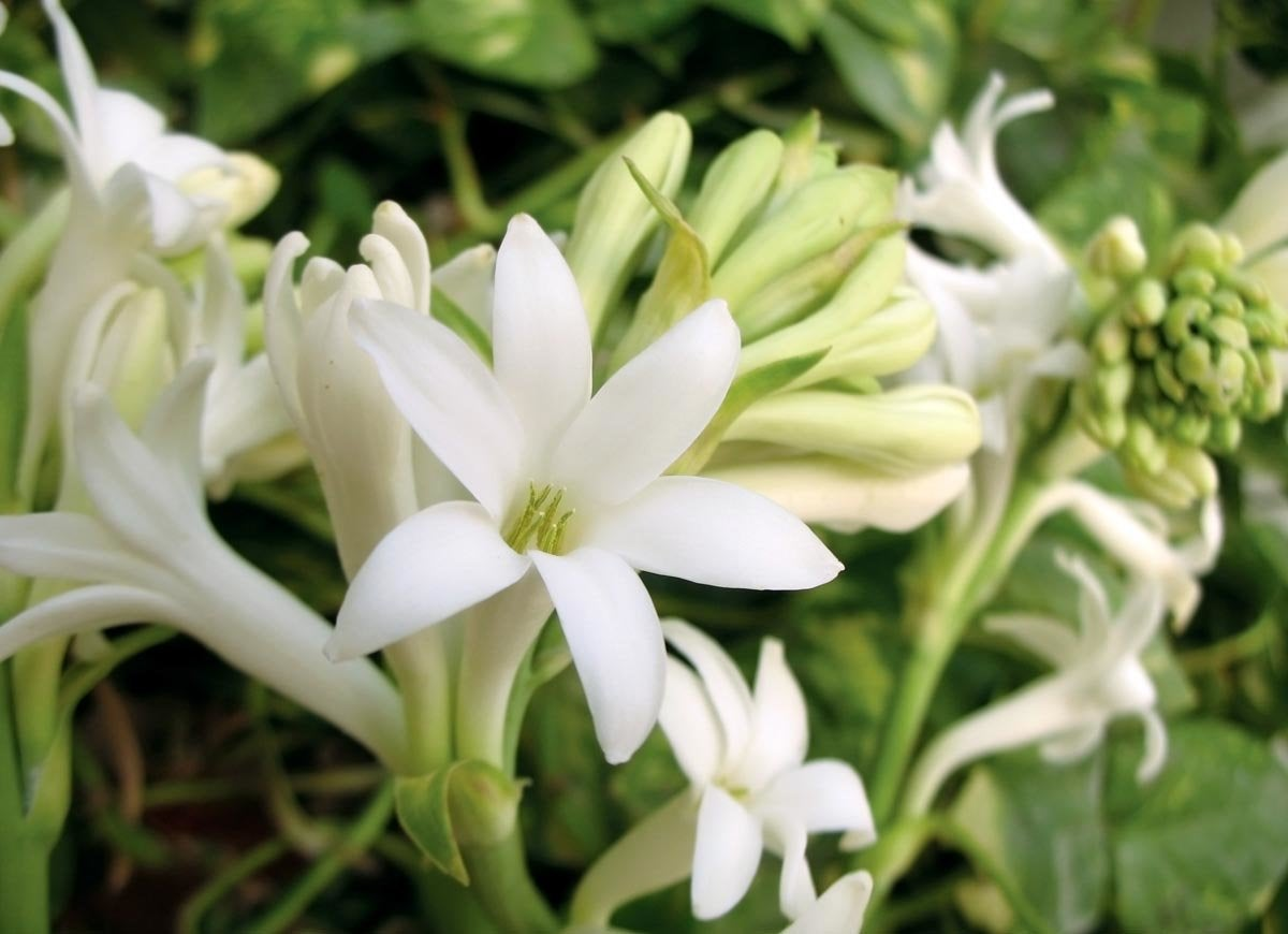 12 fragrant flowers for your garden bob vila grow this south american flower as an annual and youll enjoy a season of exotic fragrance the scent has been compared to everything from gardenias to mightylinksfo