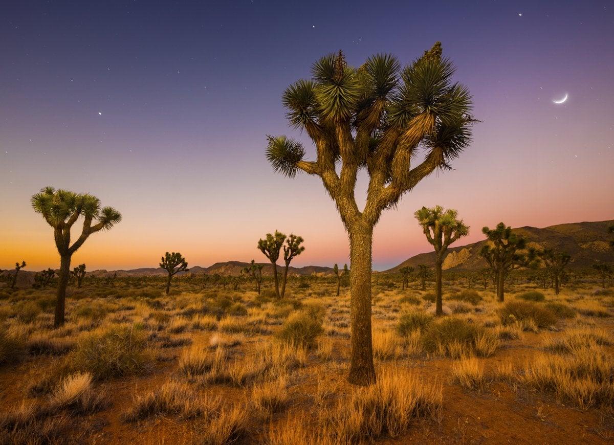 Joshua trees california