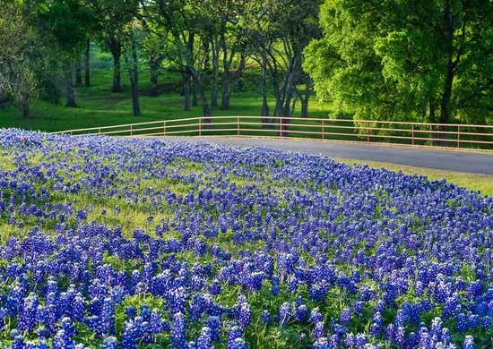 Bluebonnets In Brenham
