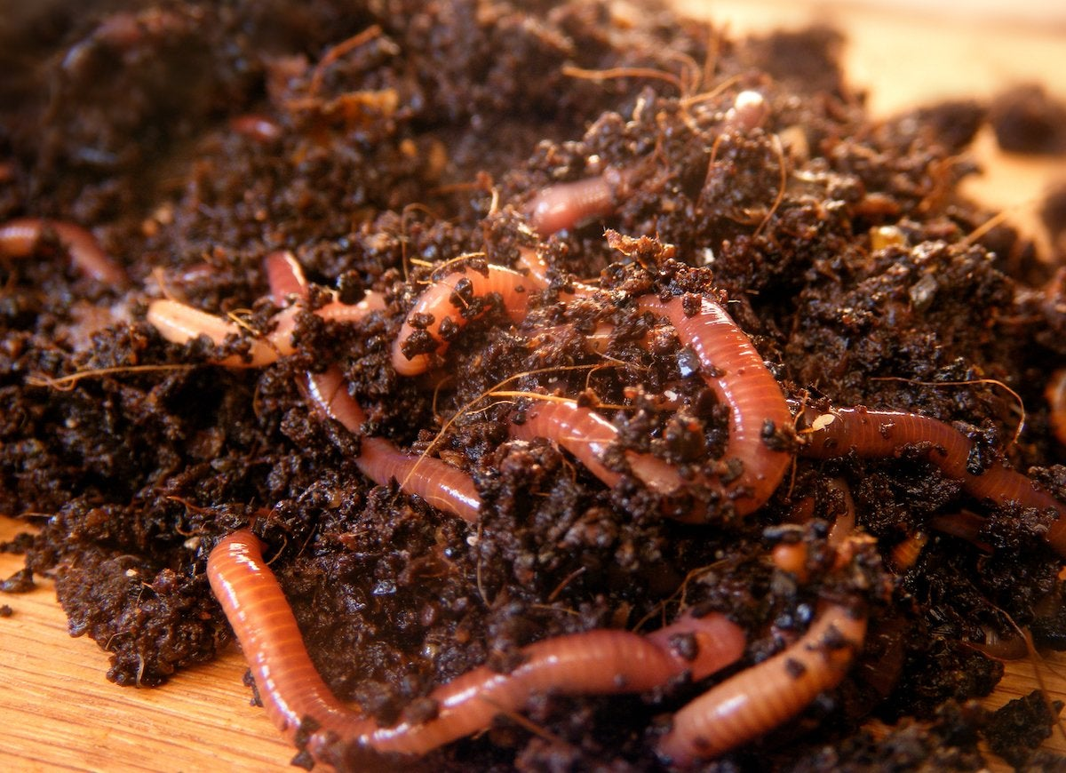 Red wiggler worms compost