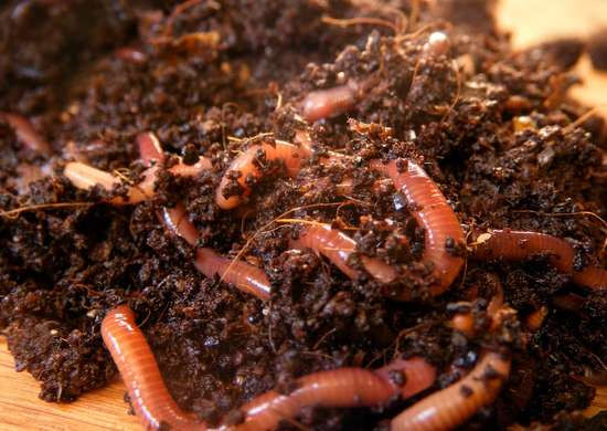 Add Worms to Your Compost