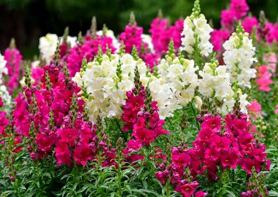 Snapdragon in Window Box