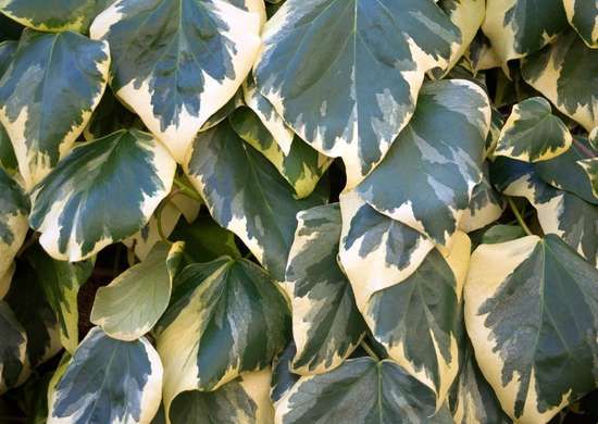 Variegated Ivy in Window Box