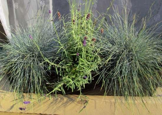 Ornamental Grass in Window Box