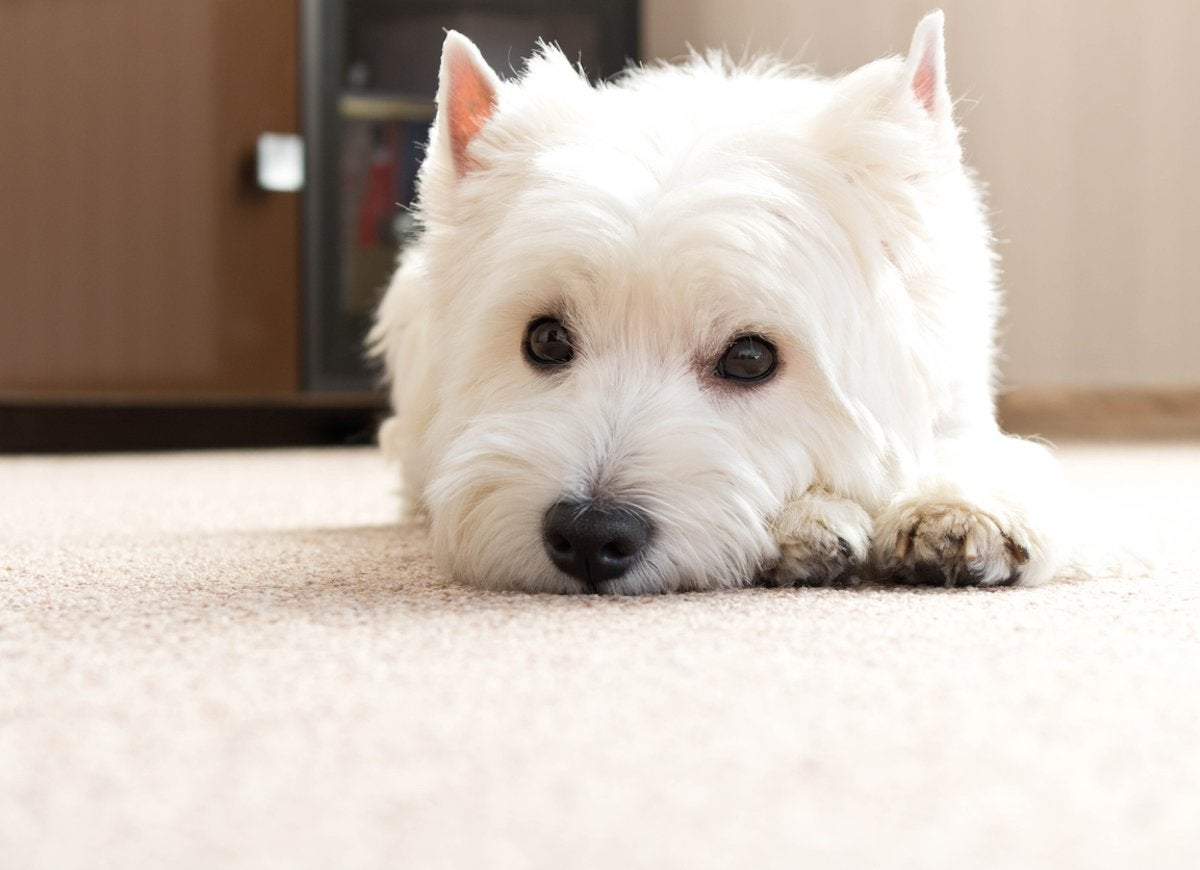 Dog poop carpet