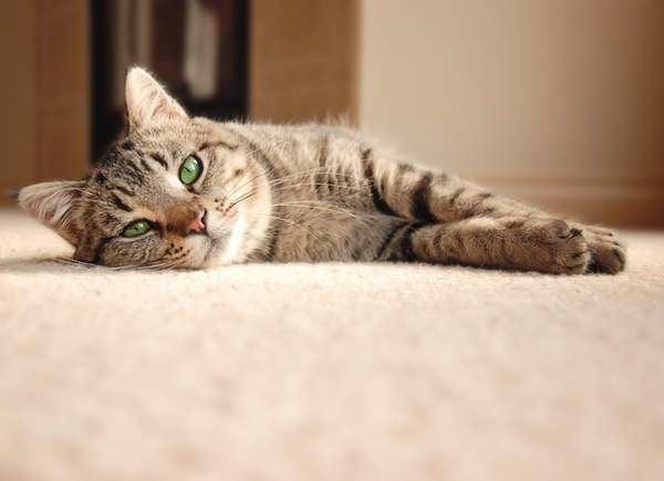 Kitty Litter In Carpet